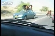 LiveLeak.com - Horse Tramples Car!