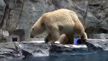Une maman ours sauve son petit de la noyade