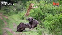 LiveLeak.com - [HD version] Buffalo Throws Lion into Air to save His Friend Being EATEN by Lions