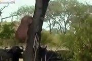 Wild Animals Animali Buffalo Attacco Leone Leoni cani tigre leopardi Discovery