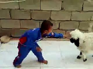 fightr sheep