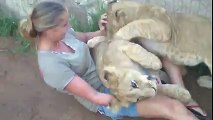 A young lady is getting mauled by two young lions