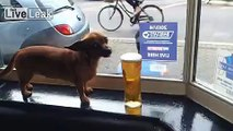 Dogs Day At The Pub  -  She Drinks Carling Beer (Only CARLING)