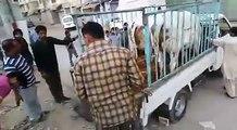 two cows run away   two cows run away in pakistan before sacrifice