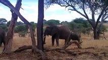 Crazy Animal Big herd of Elephants in Tarangire - Elephant safari - Tanzania Safari in Tarangire