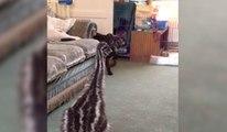 Un bébé émeu s'amuse avec un pitbull
