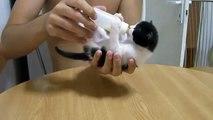 Biberona saldıran yavru kedi  -) Komedi ☆ Komedi ve Eğlence izle (video)  ツ