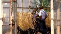 Climate change and food - wheat harvests at risk | Tomorrow Today