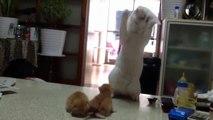 İdda ediyoruz bunlar en komik ve sevimli kediler ☆ Komedi ve Eğlence izle (video)  ツ