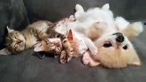 Une très belle complicité entre ce chiot et ces chatons