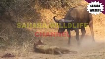 Lion killed by hippo a bloody battle - video dailymotion
