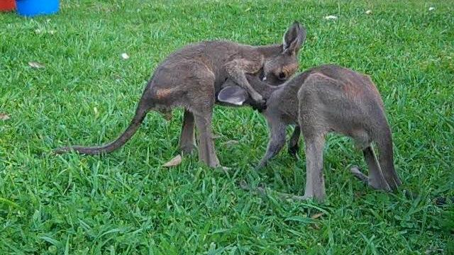 Rescued kangaroo joeys ready for better life