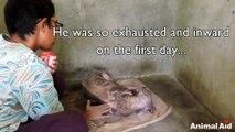 Un chien mourant recueillit et soigné, transformé en 2 mois!