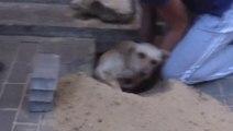 Un chien enterré vivant par des ouvriers, sauvé par les habitants de ce batiment!
