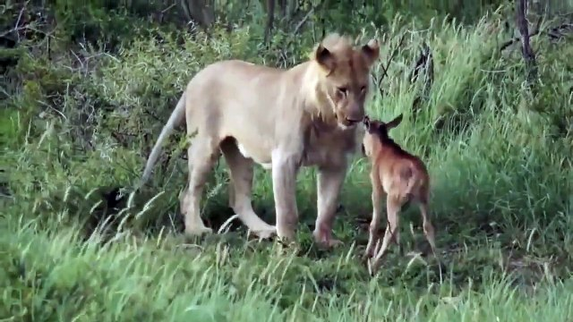 Calf playing with lion