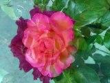 Fleurs, mots, musique, poésie