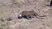 Un léopard trouvé avec la tête coincée dans un pot