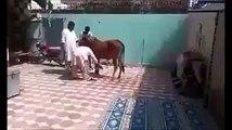 Horse Kick.
