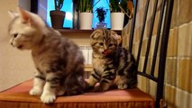 Cutest Cat Moments. Cutest Scottish Fold kitten ever