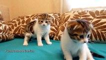 Cutest Twins ever . Scottish Fold Kittens