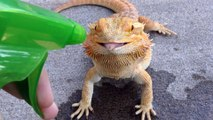 Lizard licks water from a water Spray fired by a guy