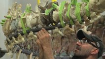 First Look: The Smithsonian builds a dinosaur
