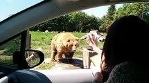La rapidité de l'ours affamé