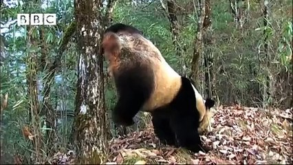 PANDA DOES HANDSTAND TO PEE! FILMED FOR FIRST TIME!