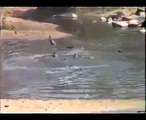 Natural Wild Life Wildebeest eaten by Crocodiles from Travel Kenya Travel
