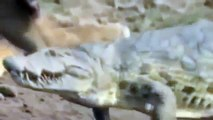 Discovery channel lion vs crocodile Discovery Wild animals attack Documentary
