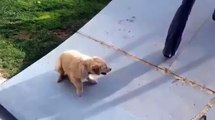 Ce petit chiot labrador n arrive pas à grimper sur cette rampe de skate... Trop mignon