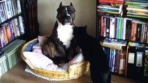 Deux fun félin drôle de chat lèche un énorme chien! Regardez!