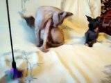 Chatons chat sphynx amusant jeu mignon regarde!