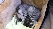 Le chat amusant chat lèche ses chatons sont très mignons! Regardez!