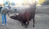 Texas Longhorn Cow Does Tricks | Bull Whisperer
