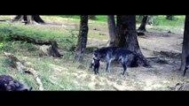 Les premiers pas de Morane, petite louve noire au Parc Animalier de Sainte-Croix