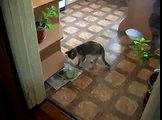 Chats drôles de chats mangent sans cuillère drôle à regarder!