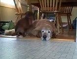 Ce chien dort sur le dos d'un autre chien... Pas de panier? Pas grave