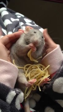 This Pet Rat Eating Spaghetti Is The Cutest Thing Ever