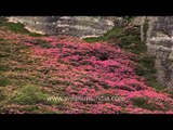 Rhododendron flowering shrubs light up the hillsides of north Sikkim