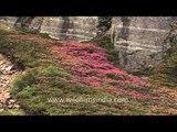 Rhododendron shrubs flowering in the Himalaya - Sikkim
