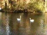 Bird Watching Beautiful Ducks,Gooses And Swans Nature scenery out doors natural high
