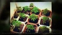 Buy Weed Online | Buy Real Marijuana Online