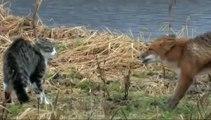 Un chat contre un renard