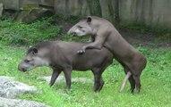 Ce tapir a un engin trop gros pour se reproduire
