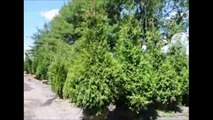 Green giant arborvitaes at HHF