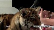 Cirque Arlette Gruss avec un bébé tigre dans #JAZ