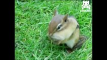 Chipmunk crams peanut in its mouth