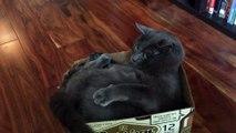 Ce chat idiot ne reconnait pas sa propre queue... Attaque!!!!!