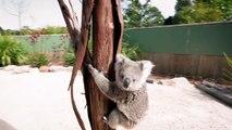Un koala court faire un câlin au cameraman